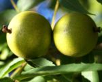 Bild:  Kleinfrüchtige Walnuss Baum grün braun Juglans microcarpa