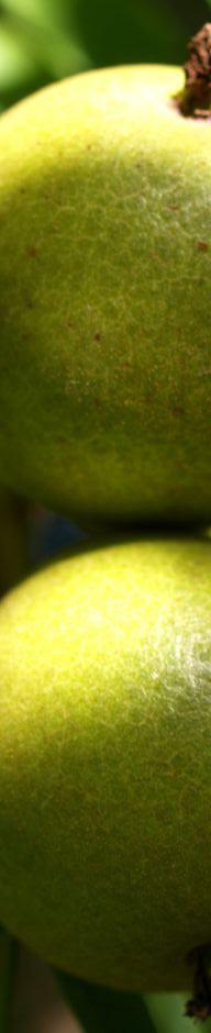 kleinfruechtige-walnuss-baum-gruen-braun-juglans-microcarpa