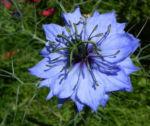 Jungfer im Gruenen Bluete hellblau Nigella damascena 01