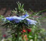 Jungfer im Gruenen Bluete hellblau Nigella damascena 08