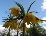 Kaiserkrone Bluete gelb Fritillaria imperialis 04
