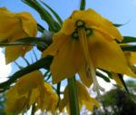 Kaiserkrone Bluete gelb Fritillaria imperialis 07