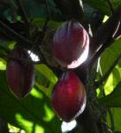 Kakaobaum Frucht rot Theobroma cacao 01