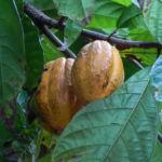 Kakaobaum Frucht rot Theobroma cacao 05