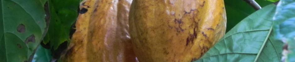 kakaobaum-frucht-rot-theobroma-cacao