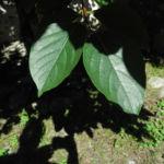 Kakibaum Blatt gruen Diospyros kaki 01