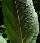Kakibaum Blatt gruen Diospyros kaki 03