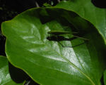 Kakibaum Blatt gruen Diospyros kaki 08