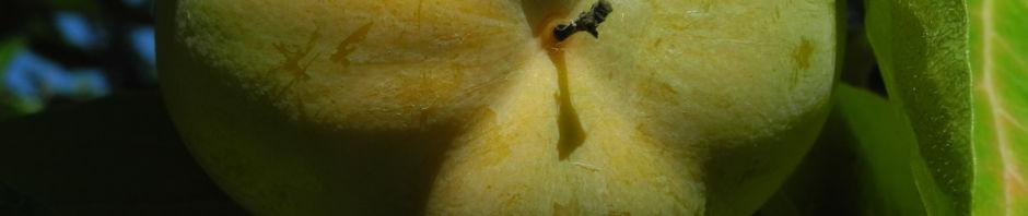 kakibaum-frucht-gruen-diospyros-kaki