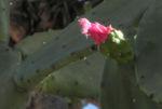 Kaktus Frucht rot Cactus 03
