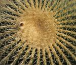 Kaktus Schwiegermuttersessel gruen Stacheln Echinocactus grusonii 01