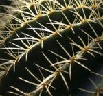 Kaktus Schwiegermuttersessel gruen Stacheln Echinocactus grusonii 03