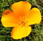 Kalifornischer Goldmohn Bluete orange Eschscholtzia california 04