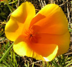 Kalifornischer Goldmohn Bluete orange Eschscholtzia california 06
