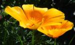 Kalifornischer Mohn Bluete orange Goldmohn Eschscholzia californica 11