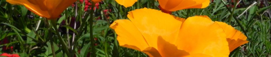 kalifornischer-mohn-bluete-orange-goldmohn-eschscholzia-californica