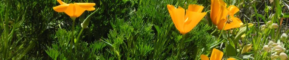 kalifornischer-mohn-bluete-orange-eschscholzia-californica