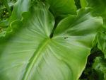 Kalle Blatt gruen Zantedeschia aethiopica01
