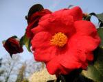 Kamelie Bluete rot Camellia japonica 02