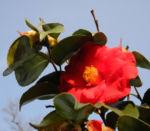 Kamelie Bluete rot Camellia japonica 04