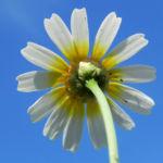 Kamille Bluete gelb weiss Hymenostemma pseudanthemis 01