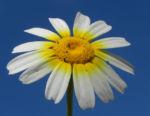 Kamille Bluete gelb weiss Hymenostemma pseudanthemis 02