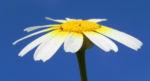 Kamille Bluete gelb weiss Hymenostemma pseudanthemis 03