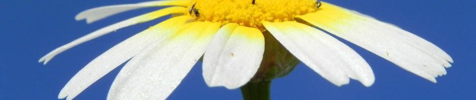 bluete-gelb-weiss-blatt-gruen-hymenostemma-pseudanthemis