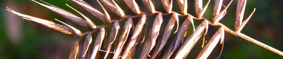 kamm-quecke-gras-samen-aehre-agropyron-cristatum
