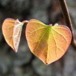 Kanadischer Judasbaum Bluete rose Cercis canadensis 03
