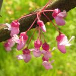 Kanadischer Judasbaum Bluete rose Cercis canadensis 05