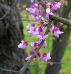 Kanadischer Judasbaum Bluete rose Cercis canadensis 08