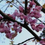 Bild:  Kanadischer Judasbaum Blüte rose Cercis canadensis