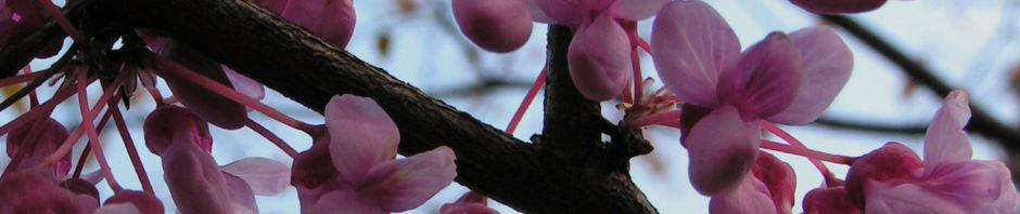 kanadischer-judasbaum-bluete-rose-cercis-canadensis