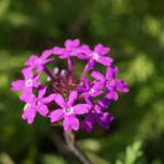 Kanadisches Eisenkraut Bluete lila Verbena canadensis 01