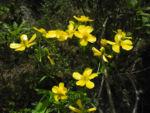 Kanaren Hahnenfuss Bluete gelb Ranunculus cortusifolius 04