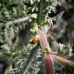 Kanaren Margerite Blatt Staengel Argyranthemum adauctum 02