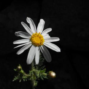 Kanaren Margerite Bluete weiß Argyranthemum adauctum 02