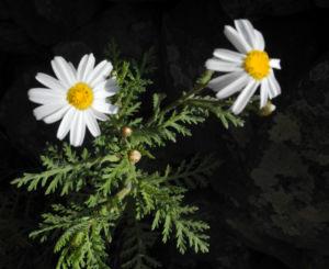 Kanaren Margerite Bluete weiß Argyranthemum adauctum 03