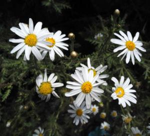 Kanaren Margerite Bluete weiß Argyranthemum adauctum 04