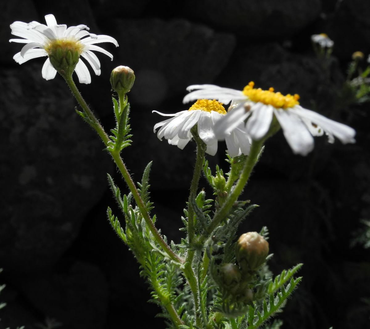 Kanaren Margerite Bluete weiß Argyranthemum adauctum