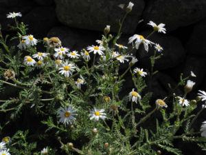 Kanaren Margerite Staude Argyranthemum adauctum 01