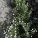 Zurück zum kompletten Bilderset Kanaren-Margerite Staude Argyranthemum adauctum