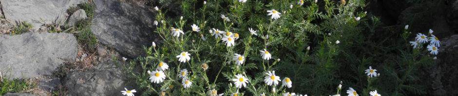 kanaren-margerite-staude-argyranthemum-adauctum