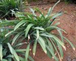 Kanaren Trichternarzisse Blatt gruen Pancratium canariense 02