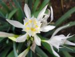 Kanaren Trichternarzisse Bluete weiß Pancratium canariense 04