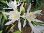 Kanaren Trichternarzisse Bluete weiß Pancratium canariense 10
