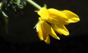 Kanarenwald Hornklee Bluete gelb Lotus campylocladus 05