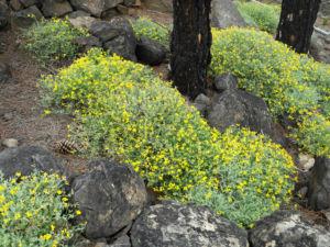 Kanarenwald Hornklee Staude Lotus campylocladus 03