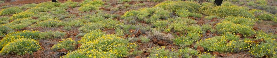 Anklicken um das ganze Bild zu sehen  Kanarenkieferwald-Hornklee Blüte gelb Lotus campylocladus